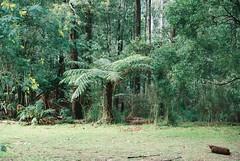 Tree fern surrounded by trees (Matthew Paul Argall) Tags: kallista pentaxmz50 ultramax kodakultramax400 400speedfilm 400isofilm fern ferntree treefern autofocus