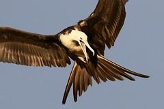 Magnificent Frigatebird Inflight (dbadair) Tags: ft desoto park st pete fl florida wildlife birds