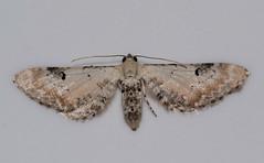 Geometridae Larentiinae : Eupithecia centaureata D. & S. (Ihagee86) Tags: fujifilmfinepixs5pro fujifilms5pro fujifilm fuji nikkor nikon micronikkor55mmais micronikkor macrophotographie lepidoptera proxyphotographie poitiers