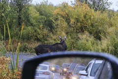 Moose Cow calling it a day (f/Kat) Tags: gtnp grandtetonnationalpark wyoming autumn fall aspen reflections