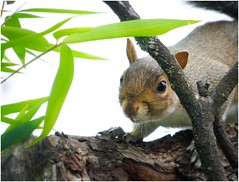 Sneak Theif (Tonisturn) Tags: nature sonya7 squirrel wildlife garden manualmode squirel squirrelcloseup tonisturn treerat vermin
