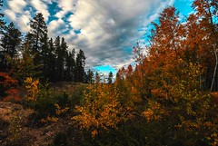 Pines vs aspens  (Blockshadows) Tags: landscape wideangle nederland boulder colorado changingseasons colors trees aspen pine seasons autumn fall