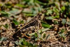 Getting Down (brev99) Tags: topazdenoise d7100 tamron70300vc grasshopper oxleynaturecenter depthoffield photoshopelements12 topazdetail highqualityanimals ngc