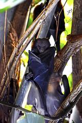 sleeping bat (محمد بوحمد بومهدي) Tags: