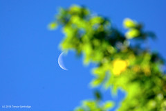Waning crescent moon (Trevdog67) Tags: waning cresent moon harvestmoon september september2016 tree leaves leaf focus foreground background nikon d7100 sigma contemporary 150600mm 600mm 14x teleconverter 850mm manual handheld moncton newbrunswick fall autumn nouveaubrunswick canada