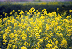 L1008454c (haru__q) Tags: leica m8 leitz summicron field mustard