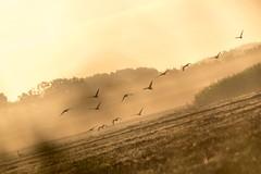 Nebelflug (webpinsel) Tags: halternamsee hullern landschaft morgendämmerung natur nebel spätsommer morgens