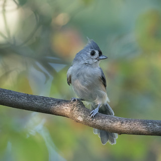 Tufted Titmouse   1Z9A6191