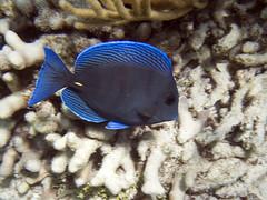 Blue Tang (Baractus) Tags: blue tang john oates south water caye marine reserve belize
