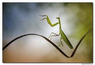 Mantis Religiosa - Mante Religieuse #12