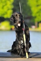 _DSC530322 (2) (Flat Coated Retriever in Berlin) Tags: zeuthen 20011 clicker halten