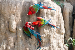 1/2 Red and green macaw....Ara chloroptre Amazonia (geolis06) Tags: geolis06 prou peru per amrique du sud south america ro manu amazonie amazonia rainforest jungle fort forest madre de dios biosphere reserve parc national man park 2016 patrimoine mondial unesco world heritage site3 dg os hsm contemporary oiseau bird aves ara chloroptre chloropterus redandgreen macaw claylick falaise collpa