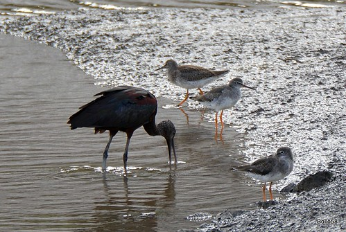 Glossy Ibis [with Redshank] - Fremington Quay 16-09-2016 14-42-012