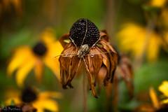 Warm September Rain (kellimatthews) Tags: spiderweb spider rain raindrop waterdrop blackeyedsusan dof yellow outside macro macrophotography september oregon