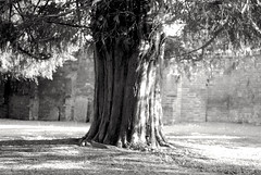 Graveyard Yew Tree (Stephen_Hartley) Tags: yewtree graveyard mono texture bark treetrunk shade england afternoon hadlow church kent religion churchyard sacredtree