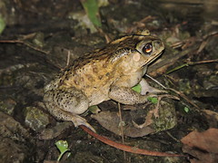 Liuzhou/ - Duttaphrynus melanostictus/Asian Common Toad/ DSCN4450 (Petr Novk ()) Tags: duttaphrynusmelanostictus duttaphrynus asiancommontoad  asiantoad blackspectacledtoad commonsundatoad javanesetoad frog toad amphibian  china na  guangxi  liuzhou  asia asie  animal wildlife nature night