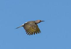 Flicker in Flight (swmartz) Tags: nikon newjersey nature capemay flicker woodpecker birds outdoors