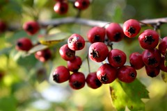 Hawthorns (vladvizante) Tags: bright red green nature outdoor outside food berry tasty fresh nikon d3300 romania hawthorn