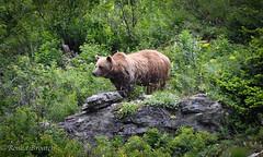 Grizzly, Lake Grinnell trail, East Glacier (Ronda Broatch Photos) Tags: bear summer macro nature closeup montana wildflowers glaciernationalpark grizzly grizzlybear eastglacier nikond90 flickraward lakegrinnelltrail mygearandme mygearandmepremium