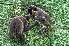 green vervet monkey  fighting hdr (gruntpig) Tags: wild green leaves animal monkey fight textures hedge gambia primate hdr vervet greenvervetmonkey