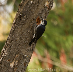 "Black-backed Woodpecker • <a style=""font-size:0.8em;"" href=""http://www.flickr.com/photos/63501323@N07/7565184204/"" target=""_blank"">View on Flickr</a>"