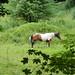 P6210245 Pferd auf Wiese
