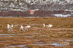 Three reindeer running through the marshes with a red cabin in the background (Arno Enzerink) Tags: red mountain snow ice field grass reindeer three cabin traditional hut pasture marshes marshlands