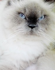 Mini Kaku () Tags: blue cat himalayan
