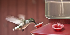 hummingbird (Anne Davis) Tags: female hummingbird rubythroatedhummingbird 200366 2012366