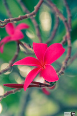 IMG_0752 (indikaparane) Tags: flowers nature kit srilanka lense 18135 araliya canon600d