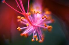 Day 9: Hibiscus Flower (samrowlands) Tags: flower macro up close bright taiwan hibiscus sonynex