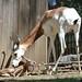 It's a Boy! Dama Gazelle Born at the Smithsonian's National Zoo