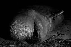 Deid (Mute-Glasgow) Tags: sea beach rotting grass flesh dead skeleton coast scotland seaside highlands sand rocks zombie dunes teeth hills horror whale bone macabre westcoast sanna ardnamurchan decomposing sannabay