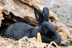 Rolly descansando (Jorges06) Tags: pets bunnies paran entreros nikon animales domesticanimals mascotas conejos animalesdomsticos d3000