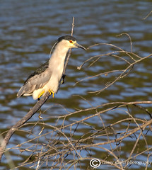 When Ya Gotta Go! (raineys) Tags: california santacruz bird nature wildlife blackcrownednightheron specanimal raineyshulerphotography
