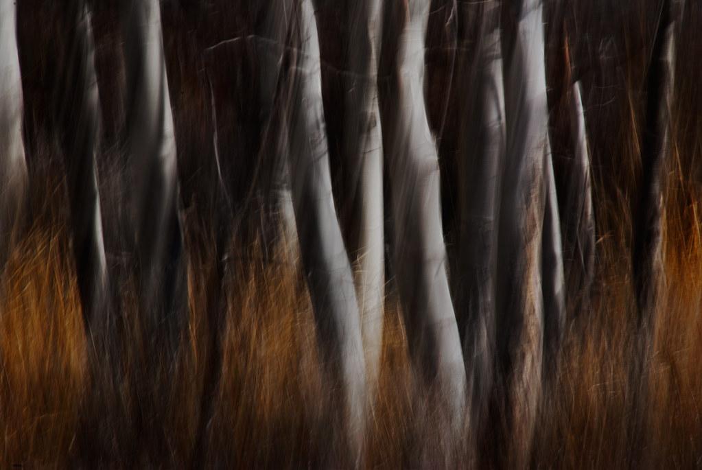 Birch Landscape