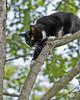 Be careful, Addy!! (loco's photos) Tags: white black tree female cat concentration maple feline dof pentax bokeh climbing tuxedo addy limb domesticshorthair k30 impressedbeauty da5514