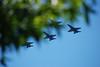 The Blue angels came to Kirkland! (SusanCK) Tags: tree airplane jets bluesky blueangels seafair susancksphoto blueangelsperformance