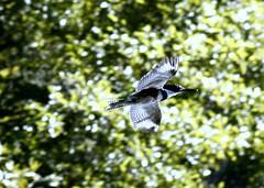 Belted Kingfisher over Lake Anza (TJ Gehling) Tags: bird flight kingfisher tildenpark tilden beltedkingfisher birdinflight cerylealcyon lakeanza ceryle tildenregionalpark birdflight ebparksok