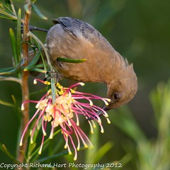 Dusky Honeyeater (SillyOldBugger (in and out of internet range)) Tags: wild bird australian australia aves queensland honeyeater handheld avian wildbird myzomelaobscura duskyhoneyeater minolta3004hsg sonya55 sonyalpha55 sonydslta55 wildbirdaustralia minolta300f4hsglens sony14apoteleconverter a55birdingrig carmilabeach
