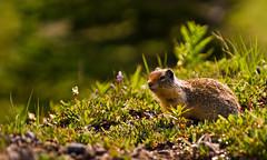 Columbian Ground Squirrel (DCZwick) Tags: canada rockies squirrel alberta banff rockymountains groundsquirrel banffnationalpark rockislandlake sunshinevillage canadianrockies sunshinemeadows columbiangroundsquirrel da50135