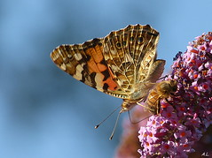 Belle dame 1 (a.laruelle) Tags: papillon mfcc