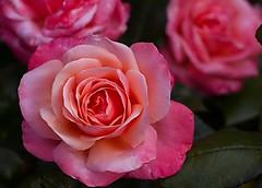 Rose (Muzammil (Moz)) Tags: flower macro rose canon7d afraaz muzammilhussain