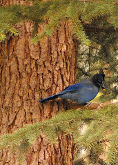 Colorado July 2012 (135) (tommaync) Tags: blue mountains bird animal tom nikon colorado jay wildlife july bluejay stellar rockymountains lakecity 2012 stellarsjay d40 oldcarsoncabin