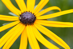 Black-Eyed Susan (karinnell) Tags: flowers yellowflower coneflower butchartgardens rudbeckia blackeyedsusan rudbeckiahirta gloriosadaisy yellowoxeyedaisy rudbeckiagloriosa