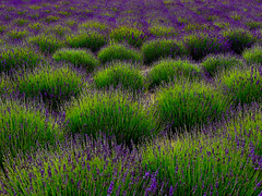 (1bluecanoe) Tags: color green landscape washington purple patterns shapes lavender sequim fields scented 1bluecanoe