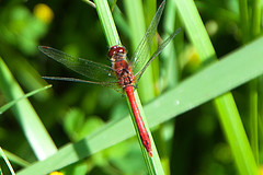 Dragonfly (uplandswolf) Tags: eye peterborough cambridgeshire naturereserves eyegreen eyegreennaturereserve