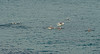 Dolphins (nigelhowe) Tags: beach manly dolphins seascap
