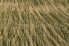 Israeli lawn - Gramado israelense (Ilan Ejzykowicz) Tags: israel prato veja pelouse rasen travnik muru gespa im gazon csped nurmikko rumput     lawnt gramos grsmatta  trawnik gramina   grsplne gyep trvnk travnjak damuhan grasperk  trvnik bic plenen   mauri peluz lndin   qazon soropil  razeno     halamanrumput