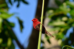 Crimson Finch - On watch duty (Shimal11) Tags: crimsonfinch nikond5100